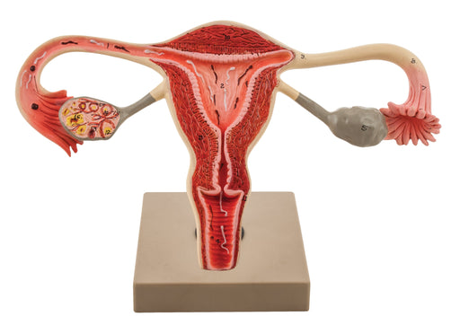 Eisco 3x Life-Size Human Female Reproductive System, Cross Section
