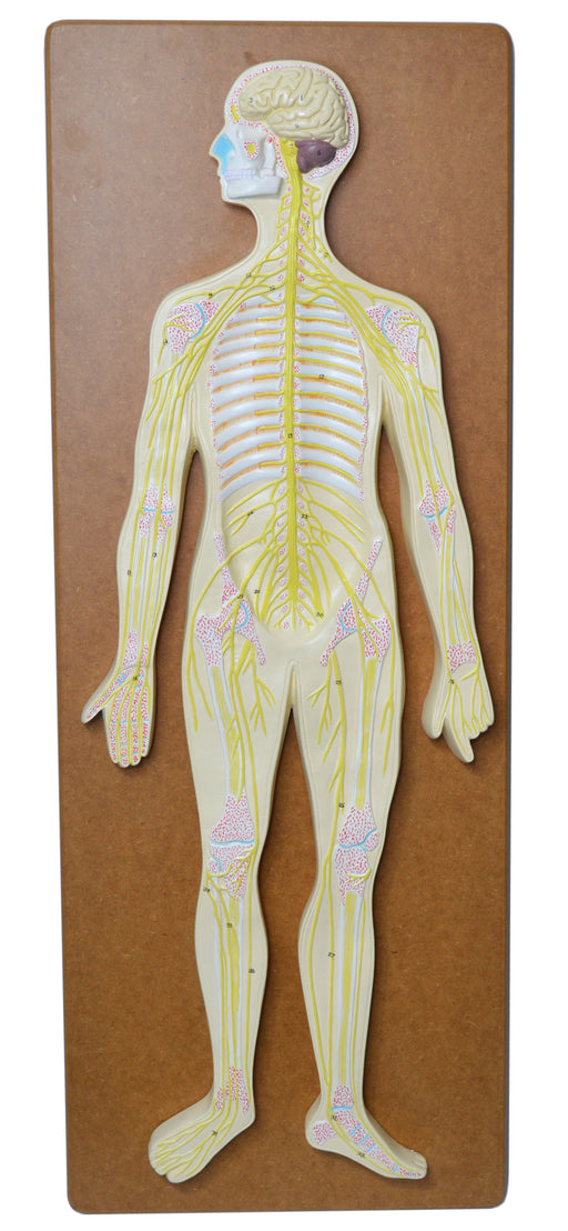 Nervous System Model, 32 Inch - Mounted - Includes Keycard - Great for Studying Structure - Eisco Labs
