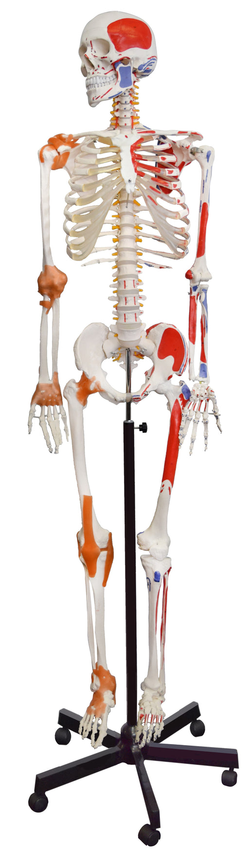 Muscular Skeleton - Flexible, Muscle Origin & Insertions, Ligaments -Eisco Labs