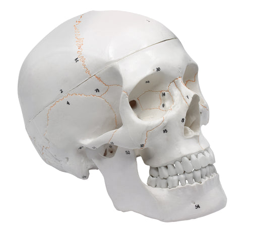Eisco Full-Size Adult Human Skull Model with Removable Skull Cap, 3 Parts
