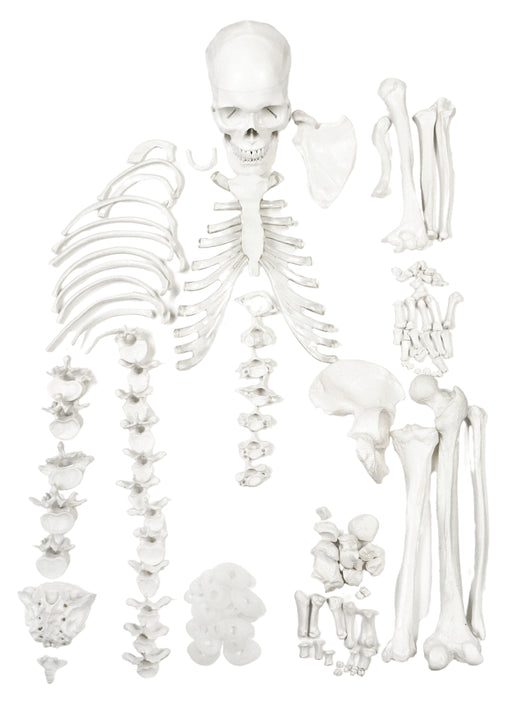HALF Disarticulated Human Skeleton - Life size