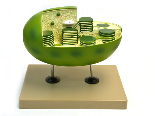 "Eisco Labs Chloroplast Model with cut away section to reveal internal structures; Chloroplast 10"" X 6"""