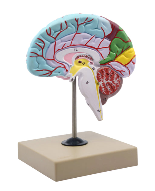 Eisco Half-Size Human Brain Model, 3 Parts