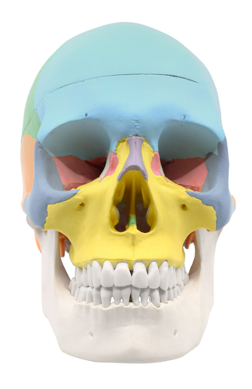 Didactic Human Adult Skull Anatomical Model, 3 Part - Color Coded