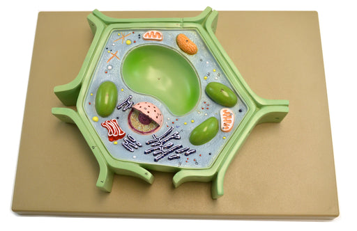 "Eisco Labs Plant Cell Model on base; 11.5"" X 10"" X 2"""