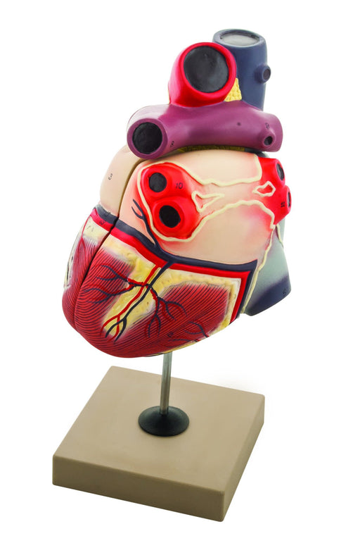 Eisco Enlarged Human Heart Model, 2 Parts