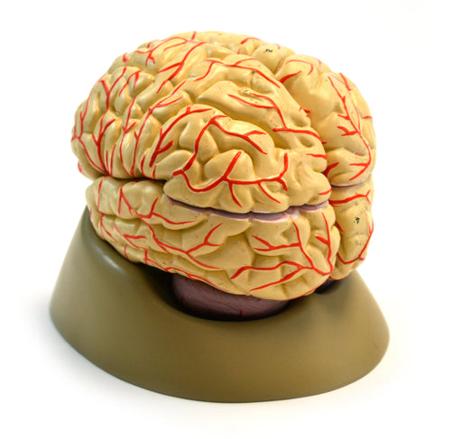 Eisco Life-Size Human Brain Model with Arteries, 8 Parts