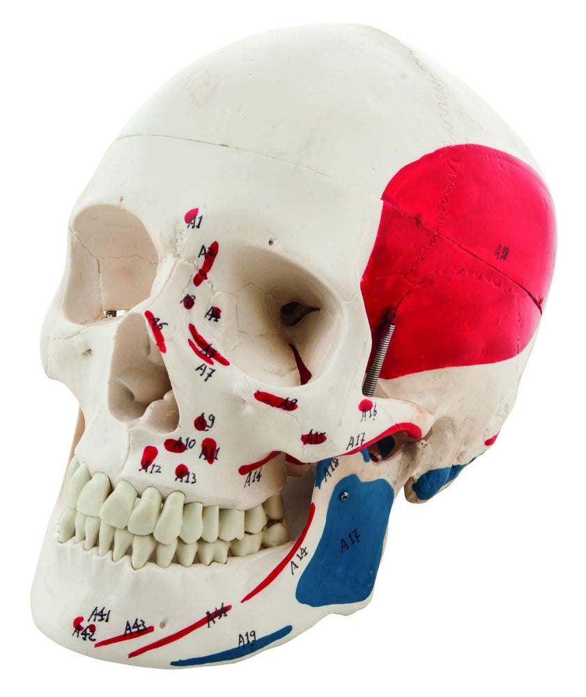 Human Adult Skull Model with Muscle Details - Key Card