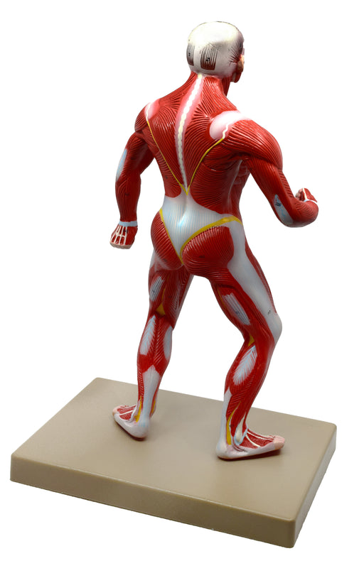 Eisco Human Muscular Body Anatomical Model, 1/4 Life-Size