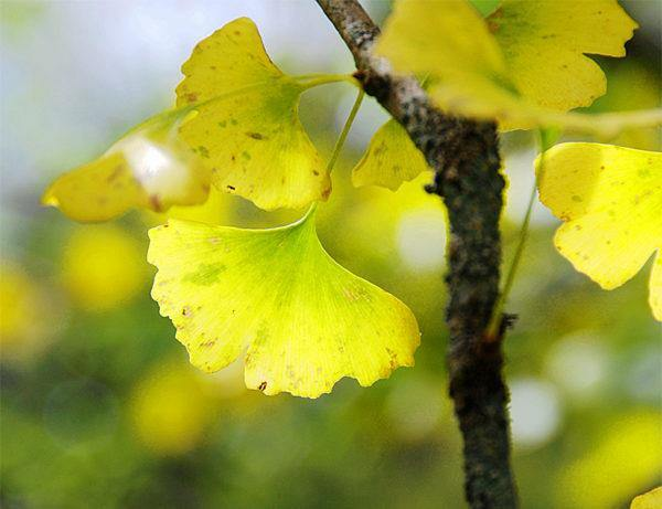 💪 Insider Guide To Ginkgo Tree Inner Strength and Resilience 🍃