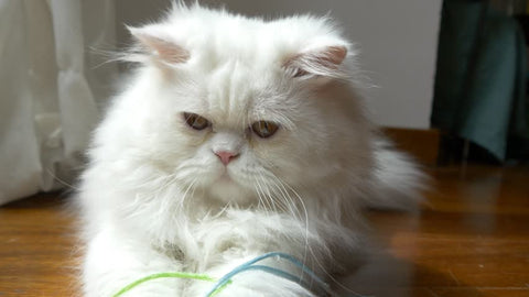 The Persian Cat is one of the most popular feline breed