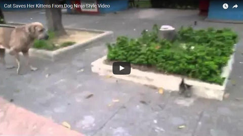 Amazing! Cat Mom Saves her Kittens from a Huge Dog! (VIDEO)