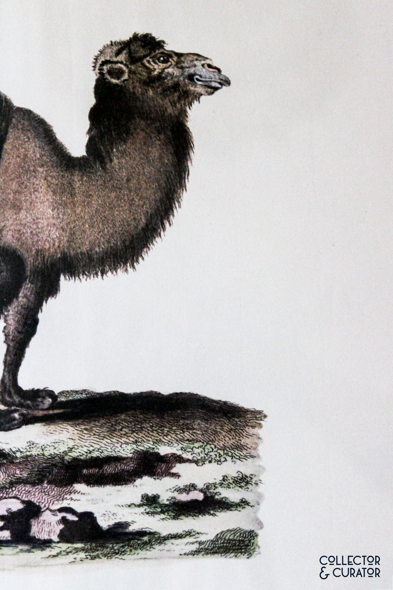 Spotted Hyena Colored Lithograph