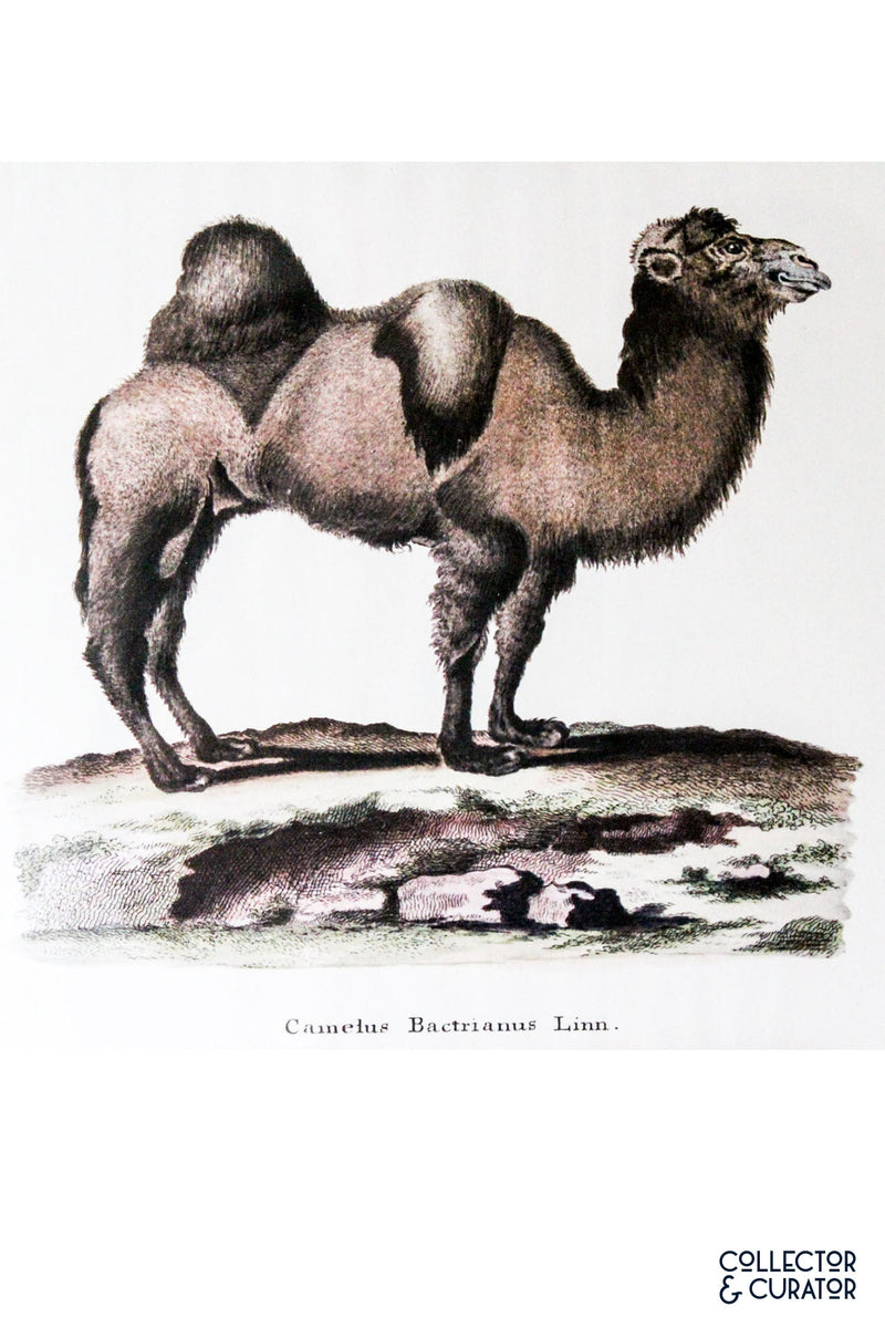 Camel colored lithograph- Collector & Curator