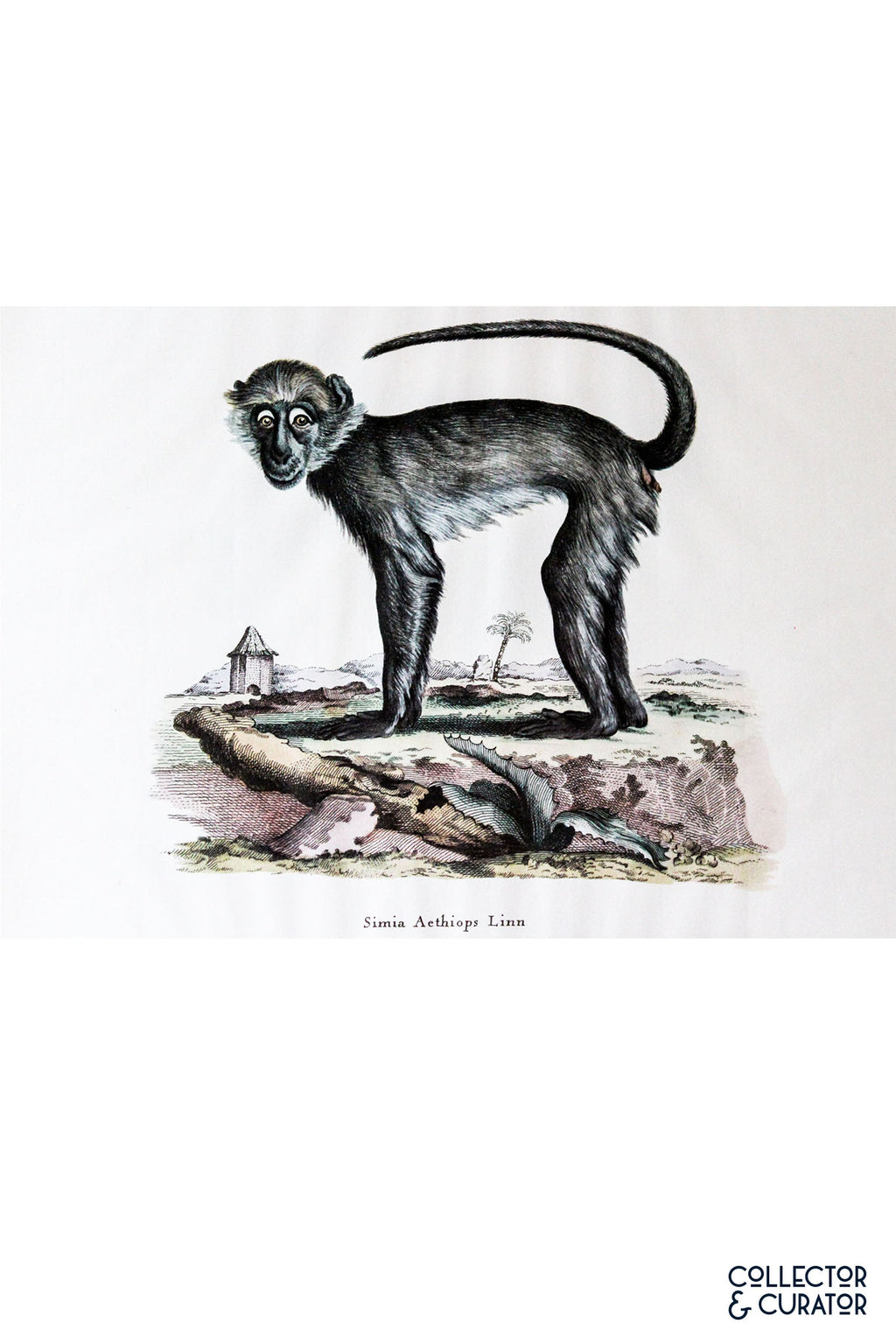 Monkey Colored Lithograph - Collector & Curator