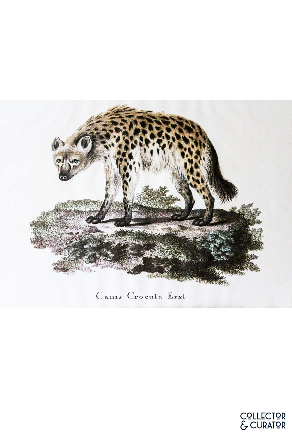 Spotted Hyena Colored Lithograph - Collector & Curator