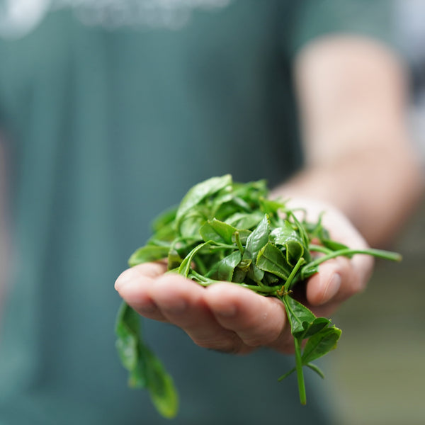 Co-founder Marc holding a pile of freshly steamed tea leaves in a tea processing factory