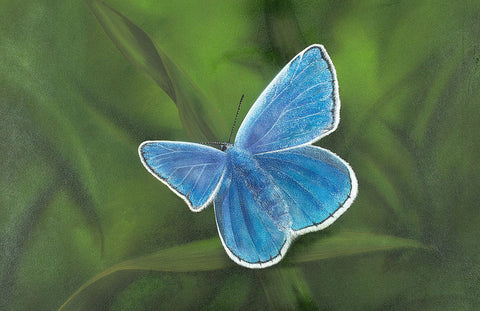 Common Blue - High Gloss Aluminium Print