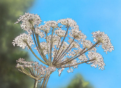 Cow Parsley II - Framed Original Art