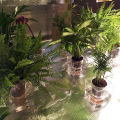 Boskke clear cube planters with exposed soil and roots