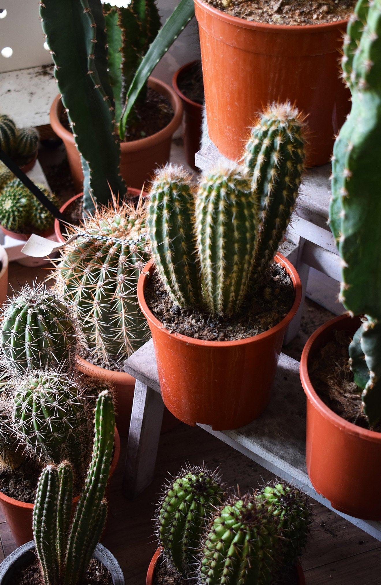 Cactus house plants on display at Geo-Fleur London