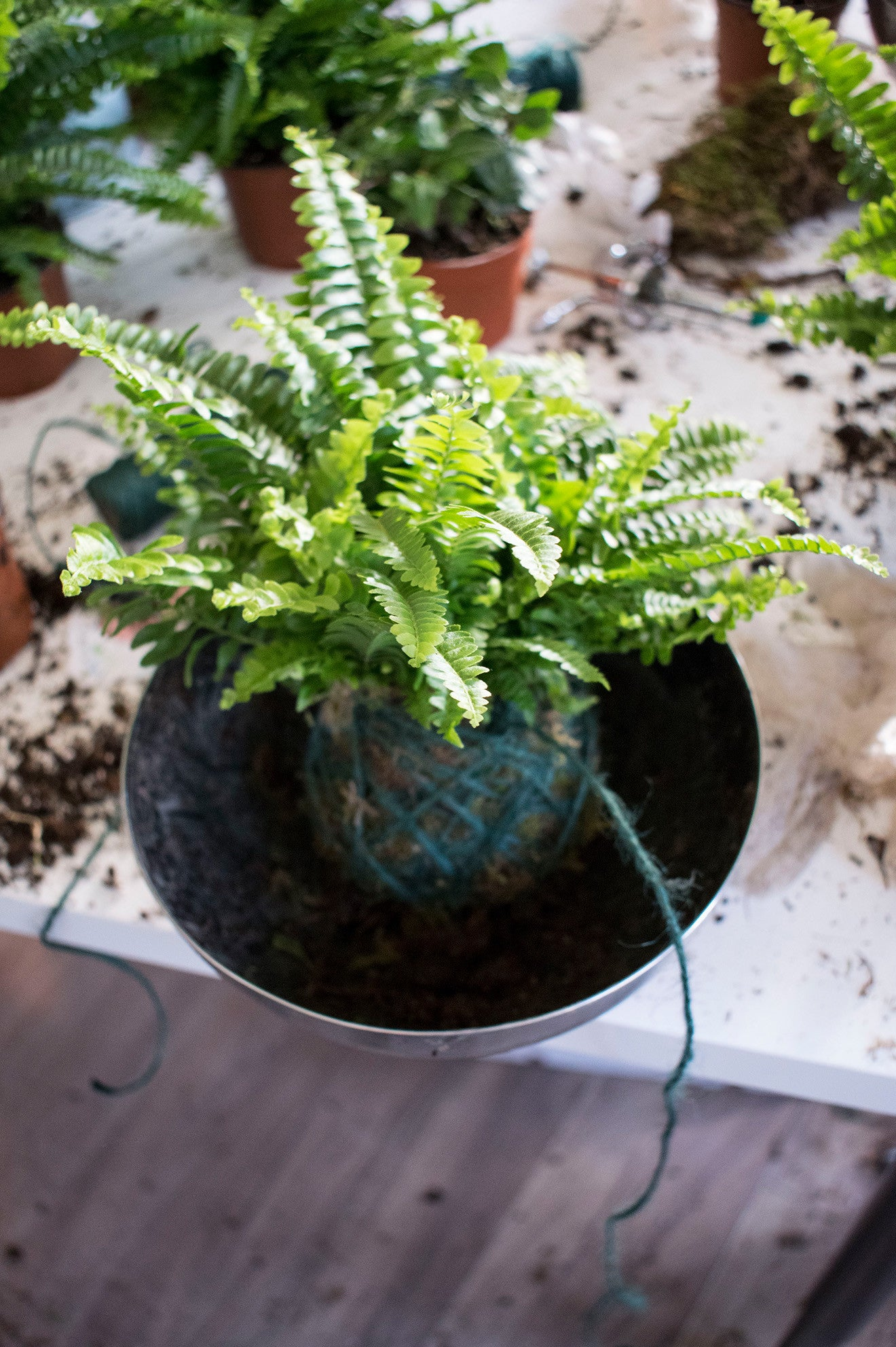 Fern Kokedama wrapped at geo-fleur