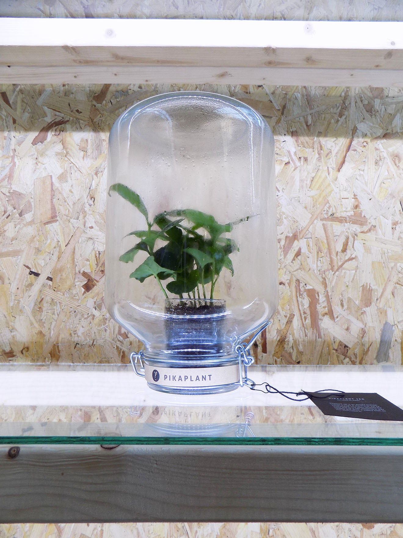 self watering plant in a jar from Pikaplant designjunction