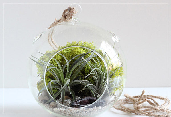 suspended glass terrarium circular with air plants