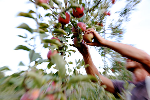 apple picking at under the tree farm brooktondale ny