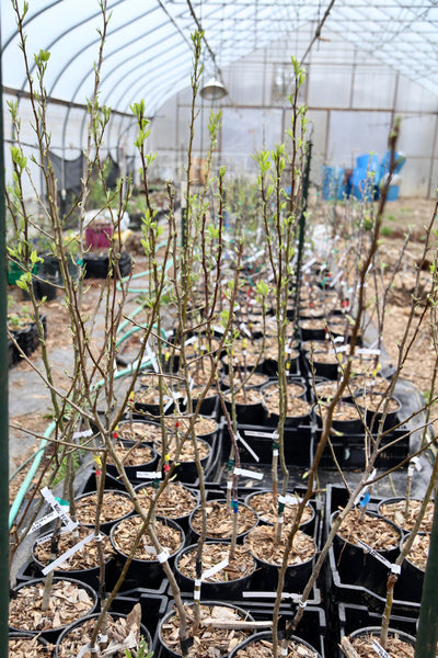 Hosui grafted asian pear tree