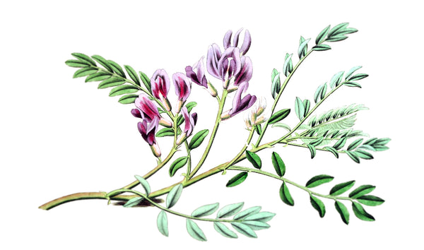 The surprising skin care benefits of Astragalus Root – Fifty7Kind
