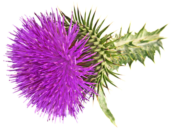 milk thistle seed oil
