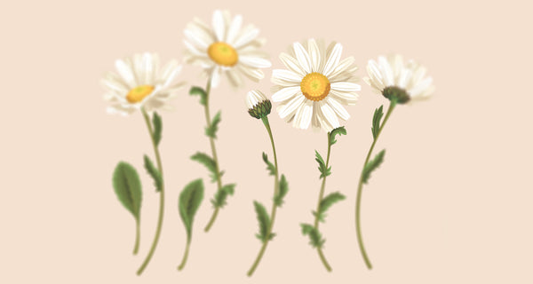 Chamomile flowers illustration