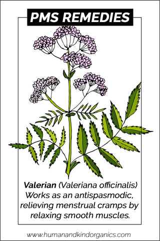 Valerian herbal plant illustration