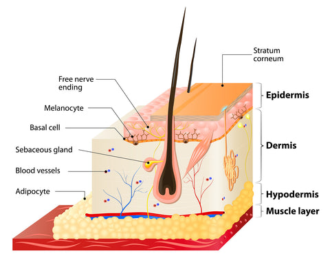 diagram of human skin
