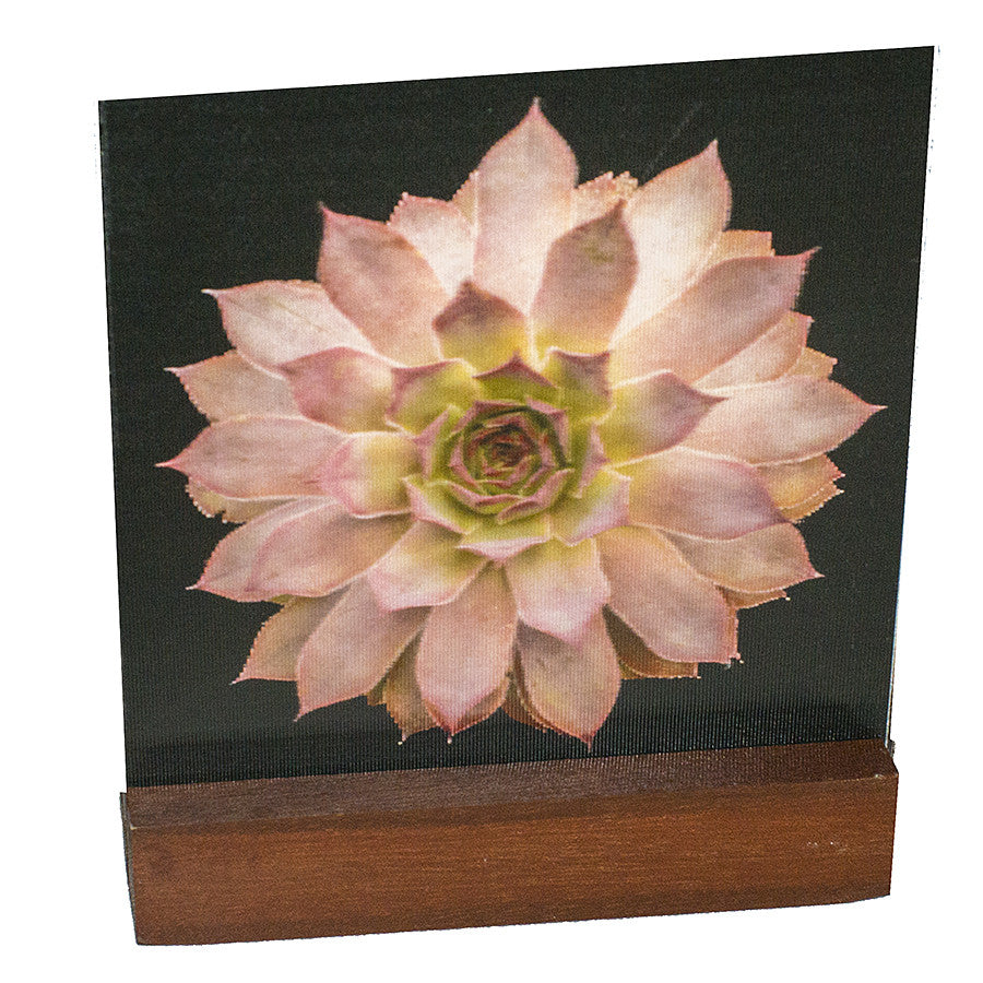 Pink Succulent : Mini on Laquered Wood Plinth