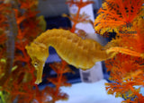 Lined Seahorses, Hippocampus Erectus, at nocoastaquatics.com