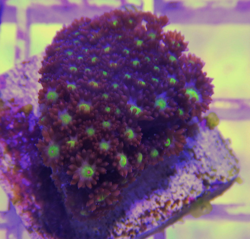 "Goniopora sp., Red and Yellow Flowerpot Coral (Goniopora sp.), 1.0"" to 2.0"""
