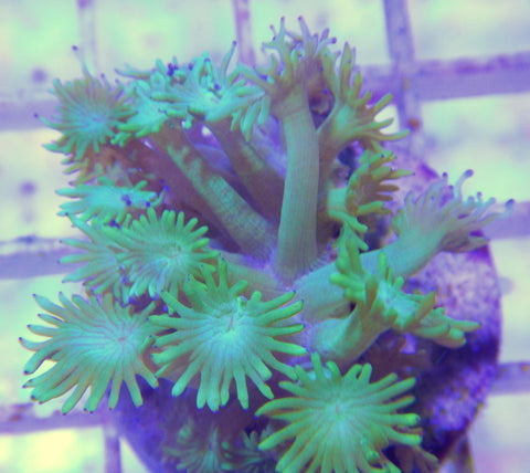 "Goniopora sp., Green Flowerpot Coral (Goniopora sp.), 1.0"" to 2.0"""