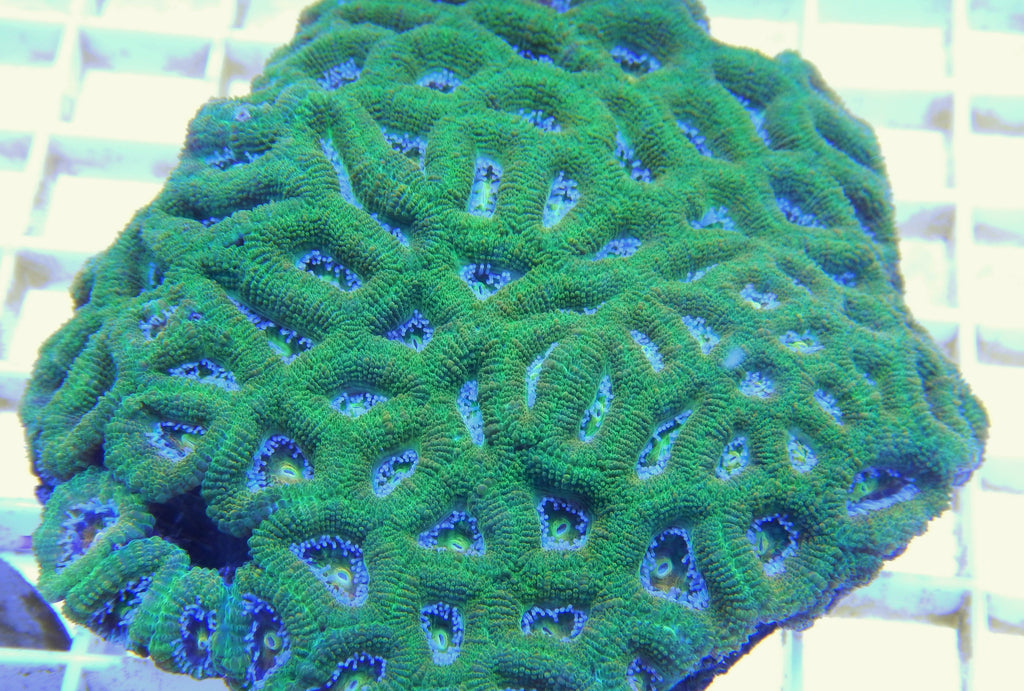 "Acanthastrea lordhowensis, Ultra Green (A. lordhowensis), WYSIWYG, 4.0"" to 4.5"""