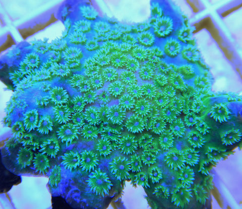 "Cyphastrea sp., Monet's Lilies Blue & Green, ReefGen (Cyphastrea sp.), 1.0"" to 2.0"""