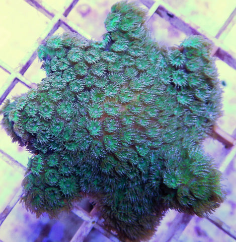 "Cyphastrea sp., Joe's Green Cyphastrea, ReefGen (Cyphastrea sp.), 1.0"" to 2.0"""
