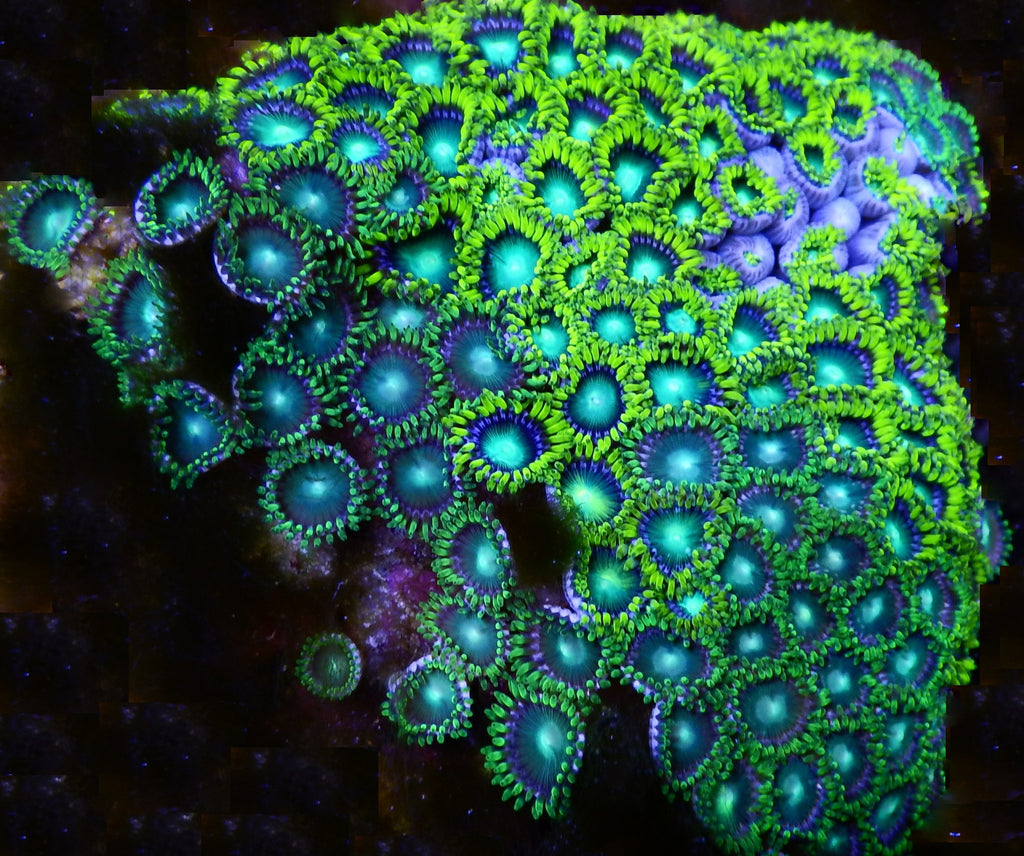 Pacific Rim Equipment >> Zoanthus sp., Blue and Neon Green Colony (Zoanthus sp.), 3 ...