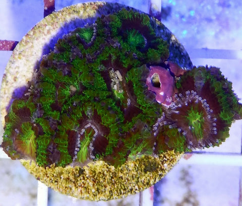 "Acanthastrea sp., Green (Acanthastrea sp.), 1"" to 1.5"""