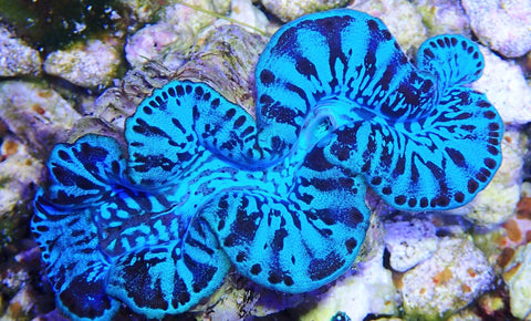 Tridacna maxima, Ultra Light Blue Colored Clam, ORA (T. maxima), 2""