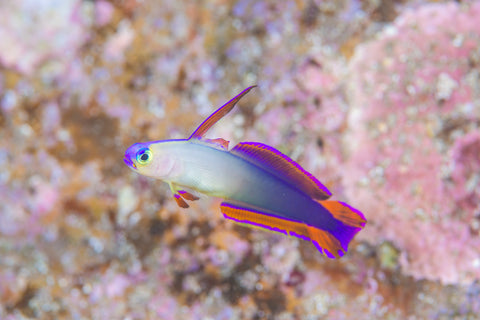 Purple Firefish Goby at nocoastaquatics.com