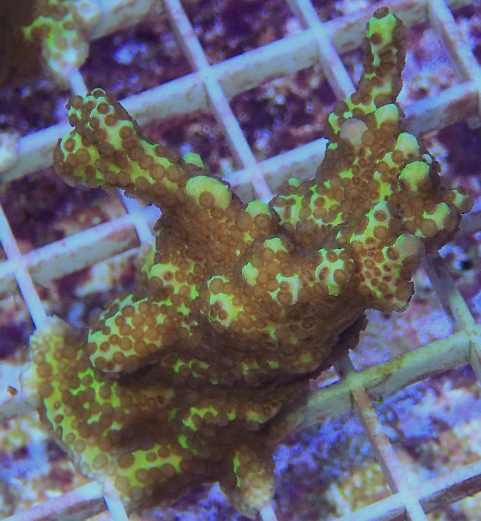 "Montipora spongodes (M. spongodes), 2"" to 2.5"""
