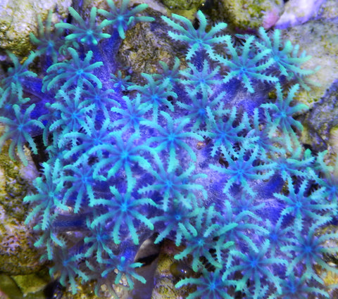 "Sympodium sp., Fireworks Sympodium, ReefGen (Sympodium sp.), .5"" to 1.0"""