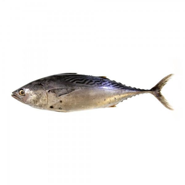 Ikan Tongkol Putih / White Mackerel Tuna