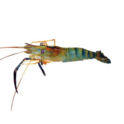 Udang Galah / Big Fresh Water Prawn